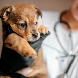 veterinarian-examines-a-puppy-in-a-hospital-the-little-dog-got-sick-puppy-in-the-hands-of-a-veterinarian_119439-444